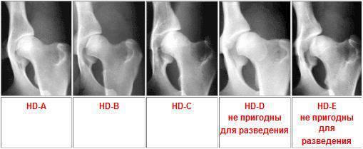 Дисплазия тазобедренного сустава степени у собак обследование суставов оренбург